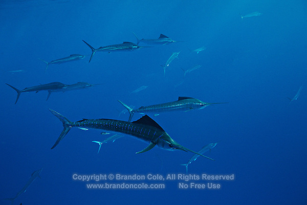 qh0732-D. Atlantic Sailfish (Istiophorus albicans) feeding on sardines. Some consider this the same species as the Indo-Pacific Sailfish (I. platypterus). Mexico, Gulf of Mexico..Photo Copyright © Brandon Cole. All rights reserved worldwide.  www.brandoncole.com..This photo is NOT free. It is NOT in the public domain. This photo is a Copyrighted Work, registered with the US Copyright Office. .Rights to reproduction of photograph granted only upon payment in full of agreed upon licensing fee. Any use of this photo prior to such payment is an infringement of copyright and punishable by fines up to  $150,000 USD...Brandon Cole.MARINE PHOTOGRAPHY.http://www.brandoncole.com.email: brandoncole@msn.com.4917 N. Boeing Rd..Spokane Valley, WA  99206  USA.tel: 509-535-3489