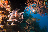 Glovers Reef Atoll, Belize, May 2012. Lionfish are a threat to Caribbean waters as they do not have natural predators hunting them. Belize offers a great variety of reef types and diving & snorkeling experiences.. The Barrier Reef is 185 meandering miles (298 km) of unspoiled beauty.  Much of it is totally unexplored and all of it is easily accessible by boat. The reef is like a gigantic wall running parallel to the coast. Between the mainland and the reef are shallow, sandy waters with numerous mangrove-covered islands (cayes). Photo by Frits Meyst/Adventure4ever.com