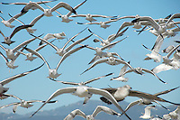 A flock of gulls fly above Santa Monica Beach on Thursday, February 17, 2011.