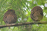 Reserva Bosque Nuboso, Santa Elena Reserve, Monteverde, Costa Rica; two Bare-shanked Screech Owls (Megascops Otus clarkii) sit on a branch next to one another, their range is restricted to Costa Rica Panama and extreme north-western Columbia , Copyright © Matthew Meier, matthewmeierphoto.com All Rights Reserved