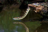 458034002 a captive carpet python morelia spilotes variegata crawls from a branch over a pond into the pond to drink