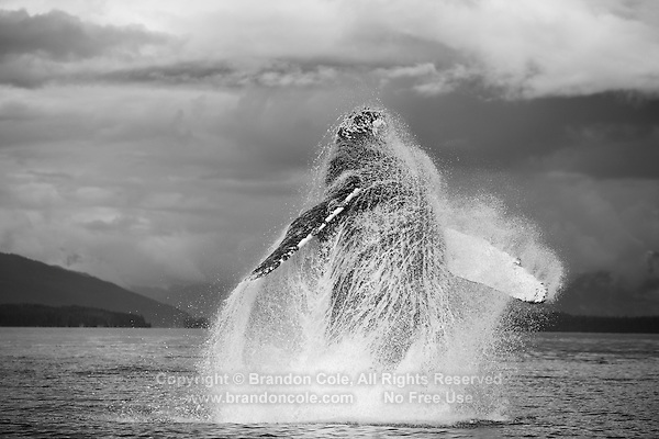 pu0287-D. Humpback Whale (Megaptera novaeangliae) breaching. Alaska, USA, Pacific Ocean..Photo Copyright © Brandon Cole. All rights reserved worldwide.  www.brandoncole.com..This photo is NOT free. It is NOT in the public domain. This photo is a Copyrighted Work, registered with the US Copyright Office. .Rights to reproduction of photograph granted only upon payment in full of agreed upon licensing fee. Any use of this photo prior to such payment is an infringement of copyright and punishable by fines up to  $150,000 USD...Brandon Cole.MARINE PHOTOGRAPHY.http://www.brandoncole.com.email: brandoncole@msn.com.4917 N. Boeing Rd..Spokane Valley, WA  99206  USA.tel: 509-535-3489