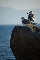 """Seagulls at Lake Tahoe 2"" -These seagulls were photographed near Sand Harbor, Lake Tahoe."