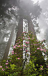 Rhododendrons and redwoods in Del Norte State Park, Redwood National Park, California<br />