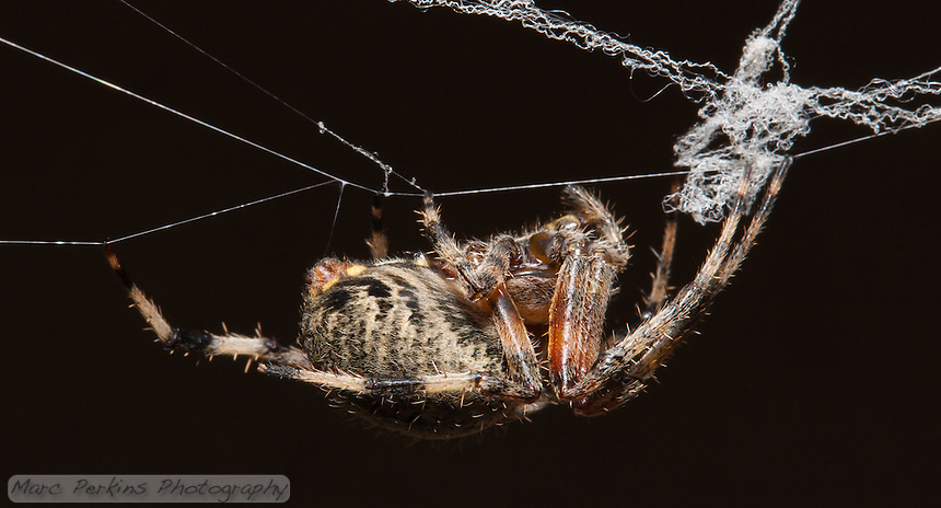 A large tan orb weaver spider (genus _Araneus_) hangs down from her web in this side-view (profile) of her.  She's hanging from intact strands of her web, but the strands above those (that are all coiled up) are from a portion of the web that was damaged.  I like how you can see a single strand of spider silk running from her spinneretes to the web, acting as a safety strap.