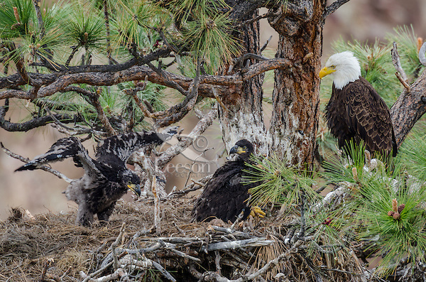 Bald Eagle Nest (Haliaeetus leucocephalus)--adult with two 5 to 6 week old eaglets in tall ponderosa pine tree.  Oregon.  May.  One eaglet is starting to exercise his wings.