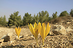 Sternbergia clusiana in Lahav forest