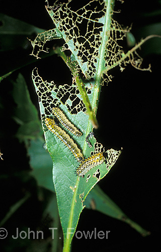 Oak tree being attacked by sawfly larvae