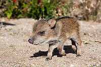 Collared Peccary (Tayassu tajacu) about 1 week old, Tucson, Arizona, USA
