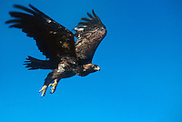 521090042 a captive golden eagle aquila chrysaetos soars in flight against a blue sky in colorado