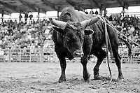 After it tossed it's rider, officials decided to let this bull enjoy it's moment of victory, after several attempts to corral him failed.<br />