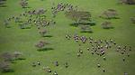 Aerial of wildebeest herd migration, Serengeti National Park, Tanzania