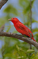 580980022 a wild male summer tanager piranga rubra songbird perches on a small limb on south padre island cameron county texas