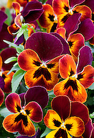 Violets Trailing Pansy 'Wonderfall' Yellow with Red Wing, in container