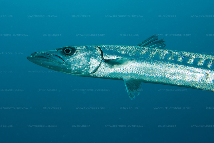 "This great barracuda made a startling appearance.  Finishing a series photographing an octopus on the reef, the photographer looked up and was surprised to see this barracuda within three feet, watching the flash action.  The barracuda left as soon as the photographer turned the camera his direction.  ""Amber Head"" dive site, Turneffe Atoll, Belize."