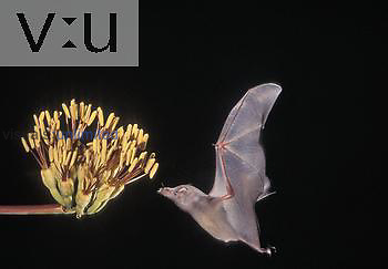 Mexican Long-tongued Bat (Choeronycteris mexicana) at a flower at night, Arizona, USA.