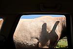 Sequim Game Farm Olympic Game Farm elk at car window