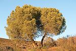Pine Tree, Pinus sp., Sierra de Andujar Natural Park, Sierra Morena, Andalucia, Spain