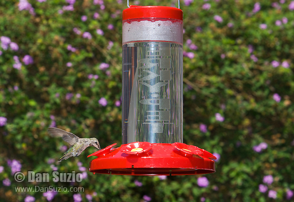 Anna's hummingbird, Calypte anna. Santa Cruz Mountains, California.