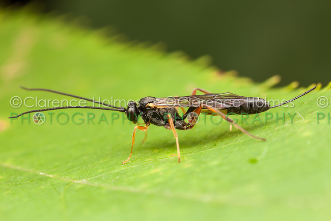 A female Ichneumon Wasp (Ichneumonidae) perches on a leaf.