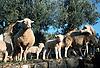 Sheep and lambs on an olive terrace near S&oacute;ller<br /> <br /> Ovejas y corderos en una teraza de olivos cerca de S&oacute;ller<br /> <br /> Schafe und L&auml;mmer auf einer Oliventerrasse in der N&auml;he von S&oacute;ller<br /> <br /> 2571 x 1742 px<br /> Original: 35 mm slide transparancy