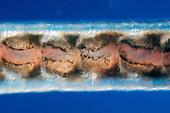 Blackworm Oligochaete Annelid (Lumbriculus variegatus) blood vessel wave. LM