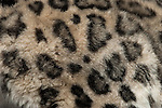 Snow leopard closeup texture showing  spots on coat.  Snow Leopards are an endangered species. Captive
