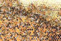 Bees on a comb of honey and brood.