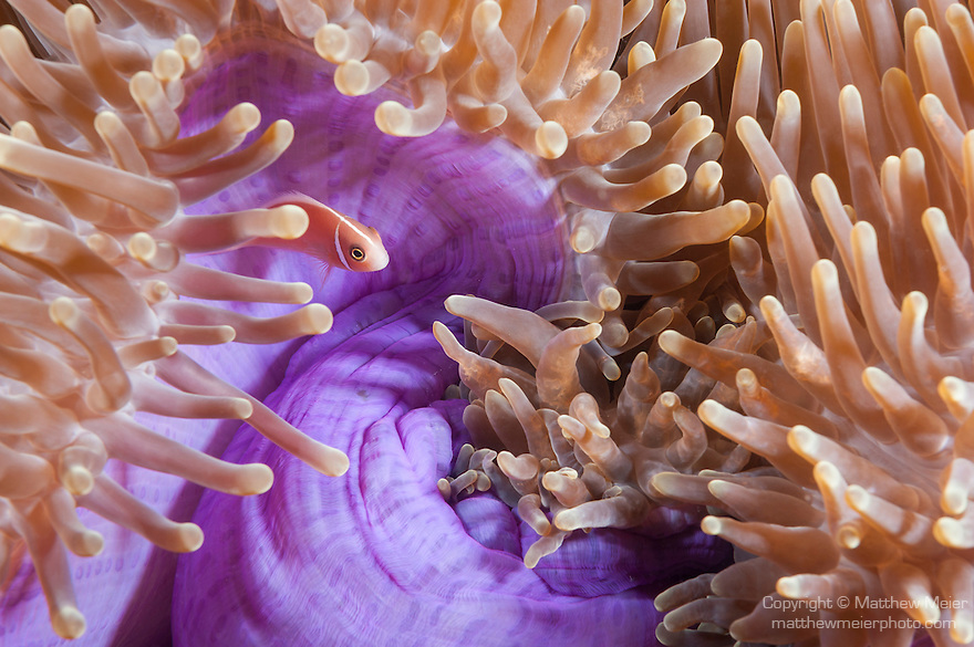 Triton Bay, West Papua, Indonesia; a Pink Anemonefish (Amphiprion perideraion) in a purple sea anemone