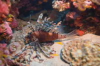 Andaman and Nicobar Islands, India, April 2008. a lionfish. With Barefoot Scuba we dive the colourful coral reefs surrounding the islands and see a mulitude of fish. The remote Andaman Islands are an upcoming eco tourism and active adventure destination. Photo by Frits Meyst/Adventure4ever.com