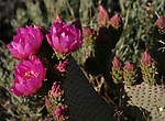 Flowering beavertail cactus, Joshua Tree National Park, California