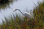 Egret stalking its prey, Upper Newport Bay, CA.