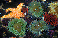 jz1135. tidepool marine life- orchre sea star, giant green anemones, red and purple sea urchins, etc.   (Pisaster ochraceus, Anthopleura xanthogrammica, Stronglyocentrotus franciscanus, S. purpuratus). Oregon, USA, Pacific Ocean..Photo Copyright © Brandon Cole. All rights reserved worldwide.  www.brandoncole.com..This photo is NOT free. It is NOT in the public domain. This photo is a Copyrighted Work, registered with the US Copyright Office. .Rights to reproduction of photograph granted only upon payment in full of agreed upon licensing fee. Any use of this photo prior to such payment is an infringement of copyright and punishable by fines up to  $150,000 USD...Brandon Cole.MARINE PHOTOGRAPHY.http://www.brandoncole.com.email: brandoncole@msn.com.4917 N. Boeing Rd..Spokane Valley, WA  99206  USA.tel: 509-535-3489