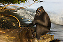 Male crested black macaque (Macaca nigra) resting in tree at beach, Indonesia, Sulawesi, endangered species, threatened through loss of habitat and bush meat trade, species only occurs on Sulawesi.