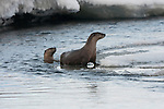 Two northern river otters playing in the Lamar river in Yellowstone National Park, Wyoming.