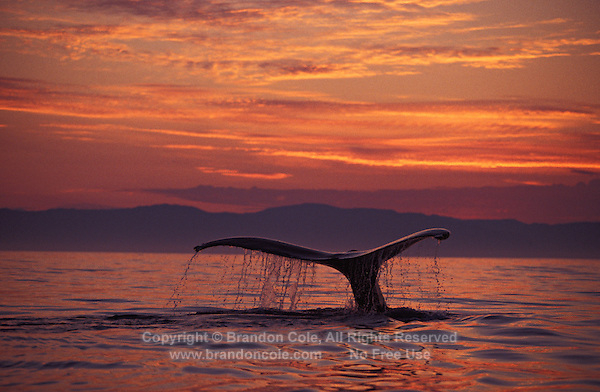 MI-732. Humpback Whale (Megaptera novaeangliae), tail flukes at sunset. Alaska, USA, Pacific Ocean..Photo Copyright © Brandon Cole. All rights reserved worldwide.  www.brandoncole.com.This photo is NOT free. It is NOT in the public domain. This photo is a Copyrighted Work, registered with the US Copyright Office. .Rights to reproduction of photograph granted only upon payment in full of agreed upon licensing fee. Any use of this photo prior to such payment is an infringement of copyright and punishable by fines up to  $150,000 USD...Brandon Cole.MARINE PHOTOGRAPHY.http://www.brandoncole.com.email: brandoncole@msn.com.4917 N. Boeing Rd..Spokane Valley, WA  99206  USA.tel: 509-535-3489.