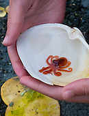 Baby Giant Pacific Octopus (Enteroctopus dofleini) being held in a clam shell, Denman Island, British Columbia, Canada.