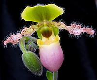 Paphiopedilum Pinocchio (paph Paph glaucophyllum x primulinum  hybrid) pink and green multi-floral orchid