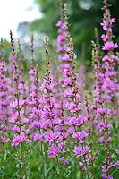 Lythrum 'Dropmore Purple'