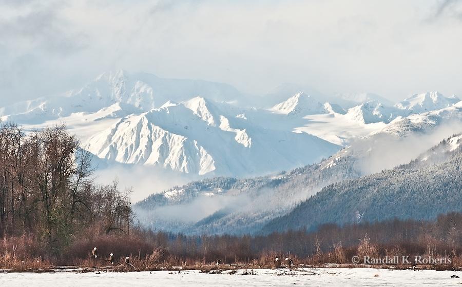 Bald eagles and Chilkat Eagle Preserve, near Haines, Alaska
