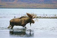 Bull moose walks through Brooks river, Naknek lake, Katmai National Park, Alaska