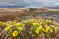 Spring blooming flowers on Puvakrat mountain, National Petroleum Reserve, Alaska.