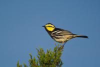 591850052 a wild male golden-cheeked warbler setophaga chrysoparia - was dendroica chrysoparia - an endangered species perches in a pine tree on mike murphy's los ebanos ranch in travis county texas united states