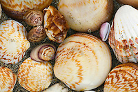 Assorted shells along the beach in Baja California, Mexico.