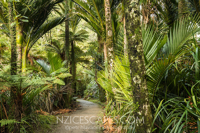 Native forest with Nikau Palms near Punakaiki, Paparoa National Park, West Coast, New Zealand