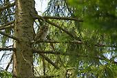 Eurasian Tawny Owl (Strix aluco) in Spruce, Slovenia