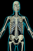 An anterior view of the bones of the upper body. The surface anatomy of the body is semi-transparent and tinted green. Royalty Free