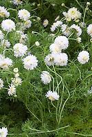 Chamaemelum nobile 'Flore Pleno' (double flowered Roman chamomile) aka Sweet Chamomile