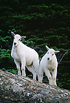 Mountain goat kids, Glacier National Park, Montana, USA