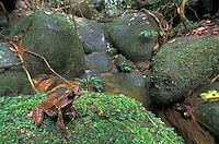 Long-nosed Horned Frog sitting on moss along a rain forest stream (Megophrys nasuta), Gunung Gading National Park, Sarawak, Borneo, Malaysia